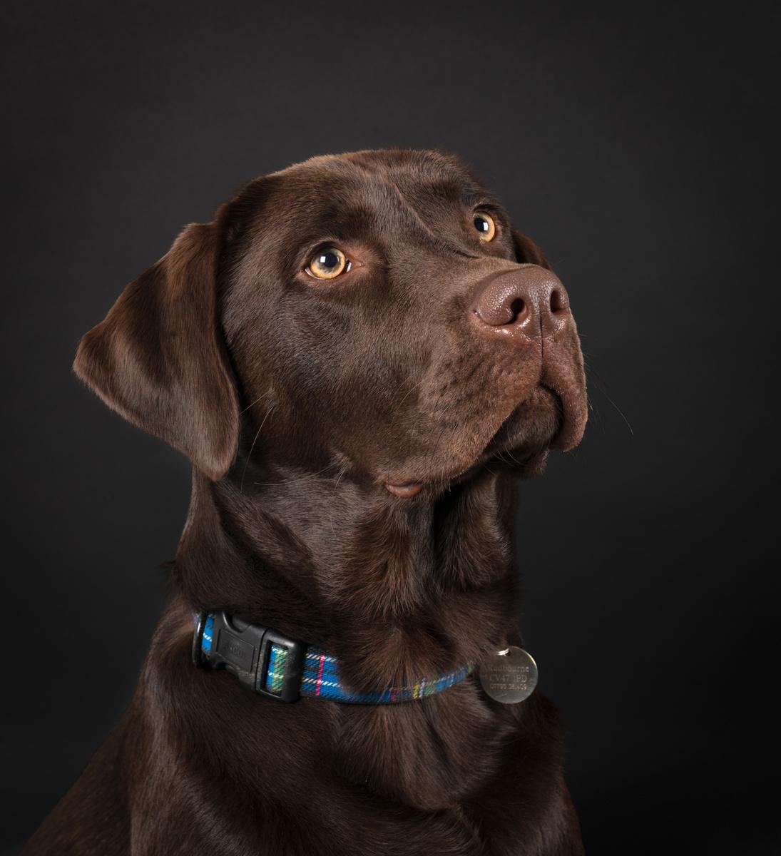 Alfie (Choc Lab) 2 - Studio Pet Portraits