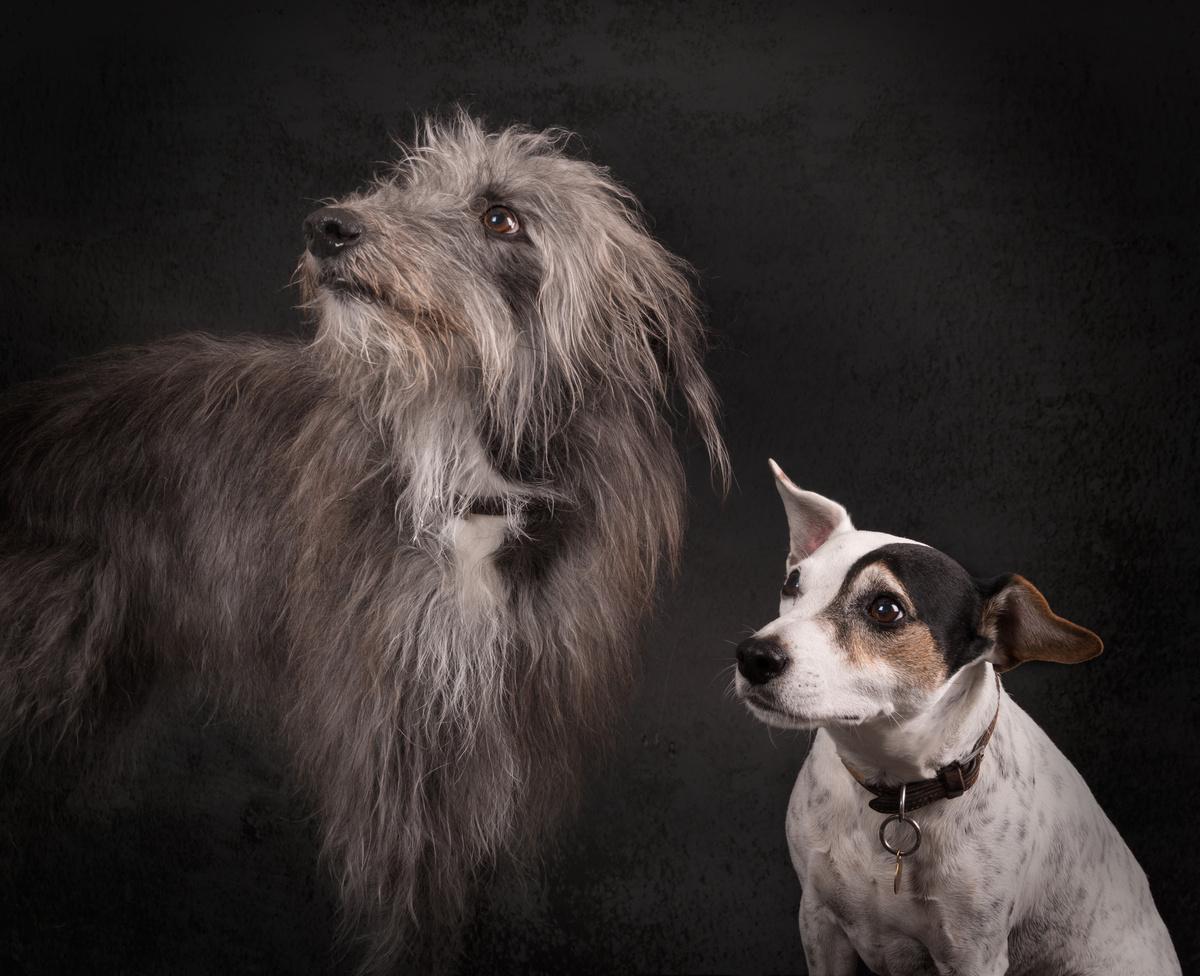Ollie and Alfie - Studio Pet Portraits