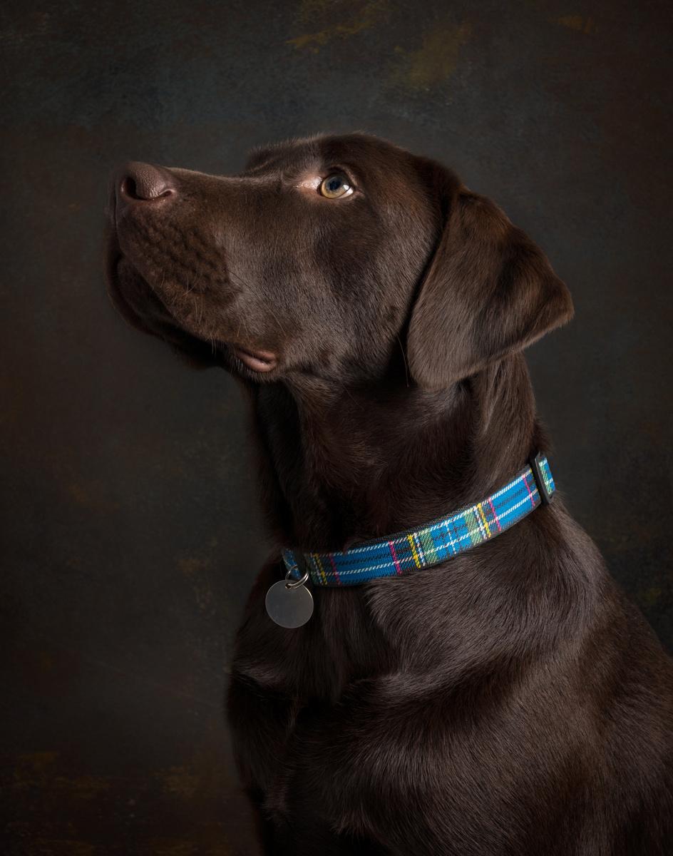 Alfie (Choc Lab) - Studio Pet Portraits