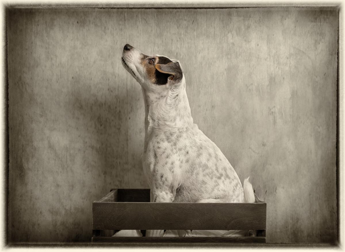 Jack in the Box - Studio Pet Portraits