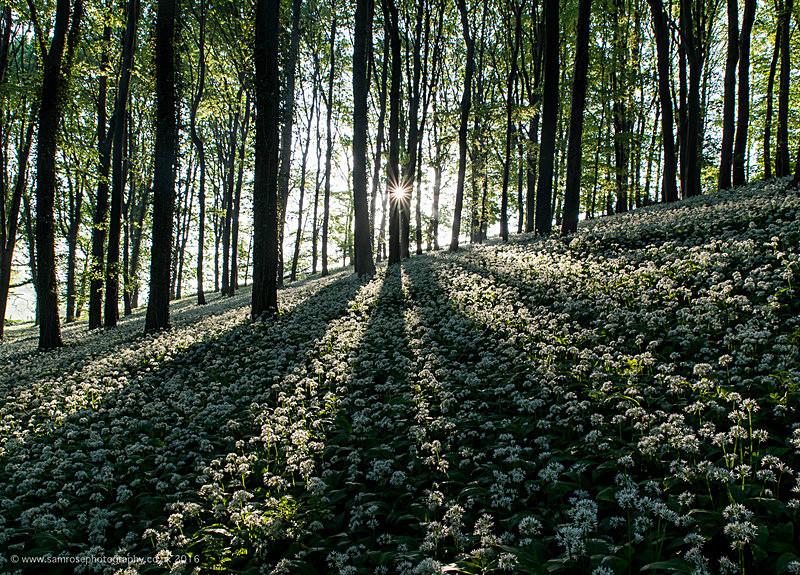 Wild garlic dawn - Dorset Photos