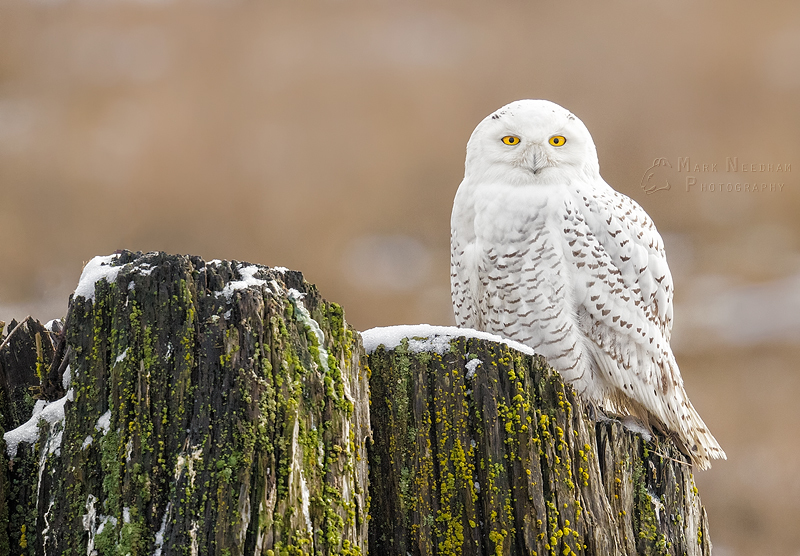 Stately Snowy - Feathered Friends