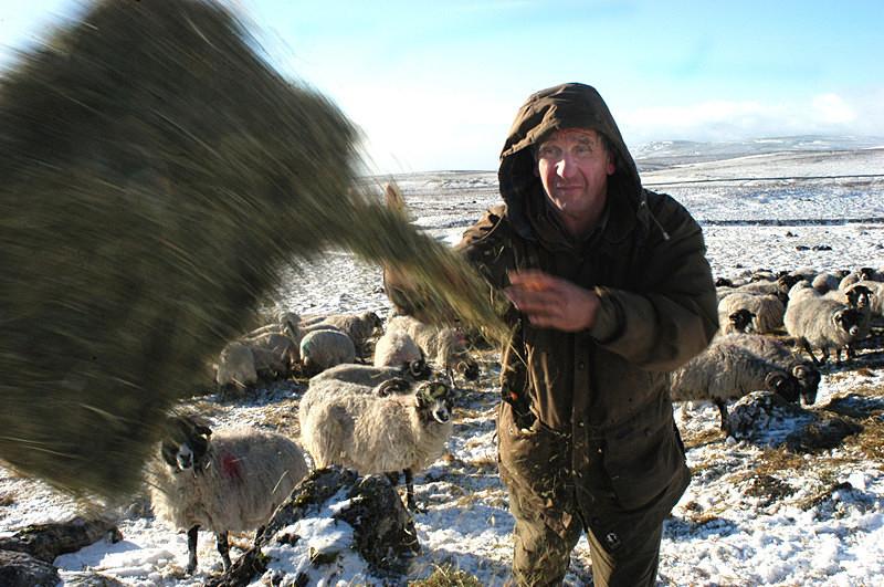 - Sheep!