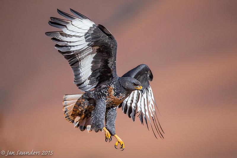 Male Jackal Buzzard Landing - In Flight