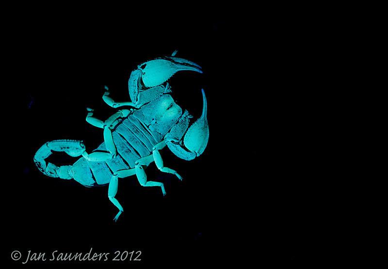 Fluorescing Scorpion - Makro