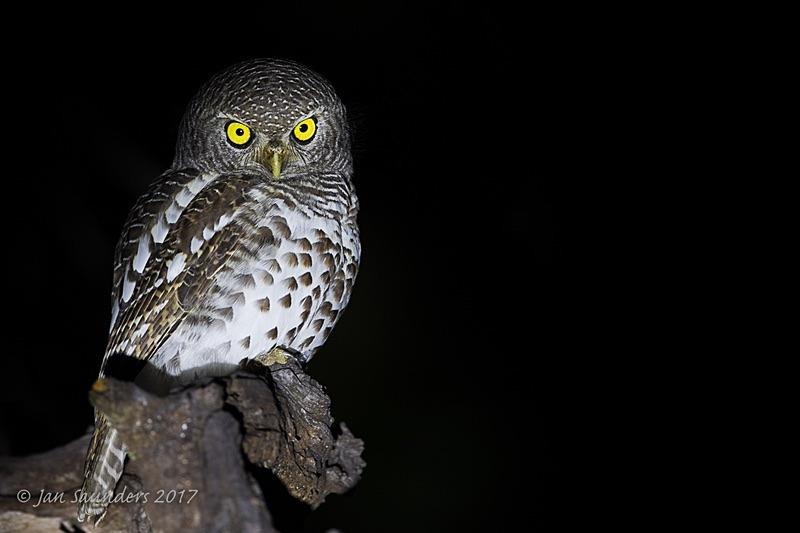 Barred Owlet 2 - Low Key