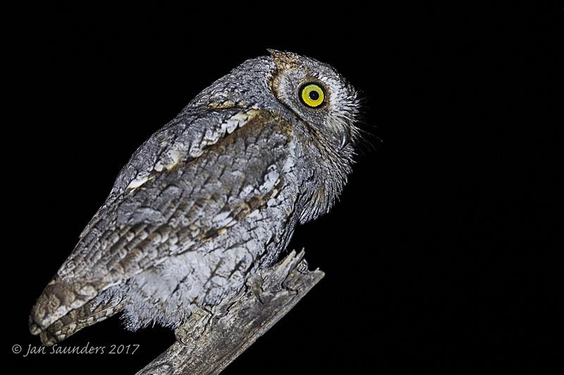 Scops Owlet hooting - Low Key
