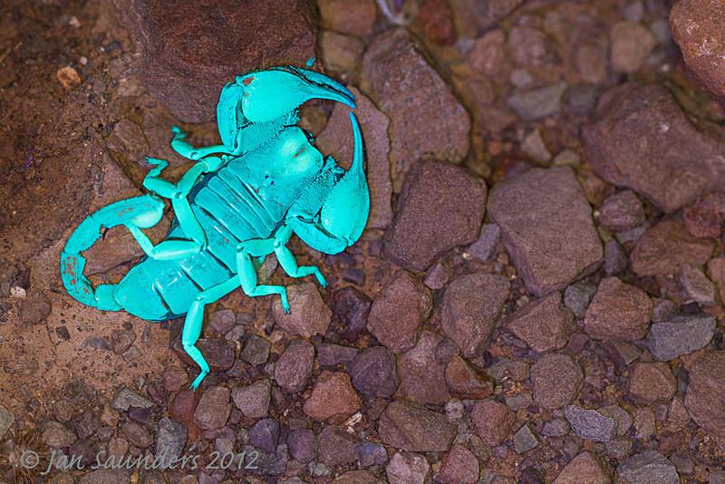 Fluorescing Scorpion 2 - Makro