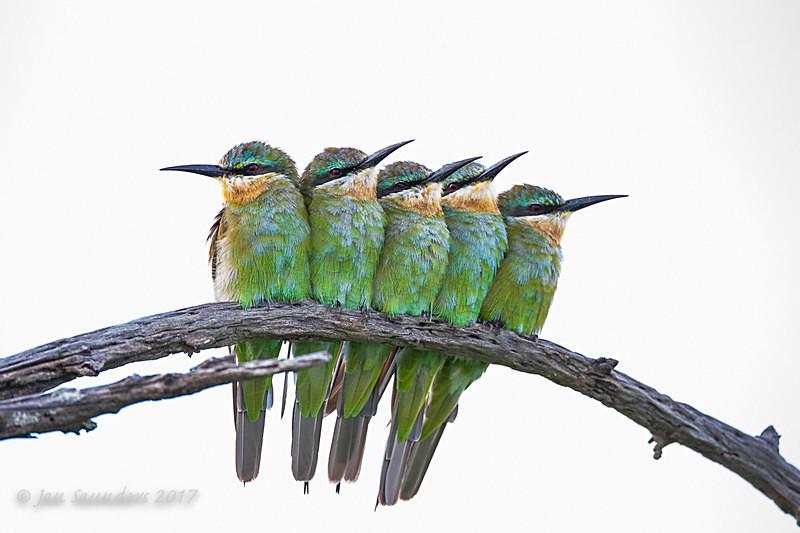 High Key Blue-cheeked Bee-eaters - High Key