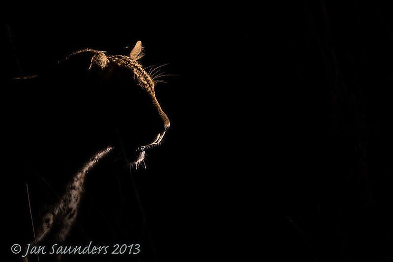 Rim light Leopard - Low Key