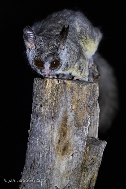 Lesser Bushbaby 1 - Low Key