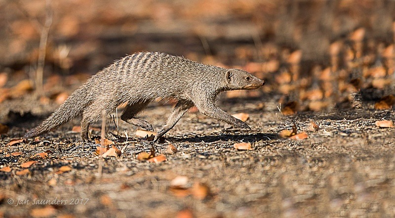 Banded mongoose - Action