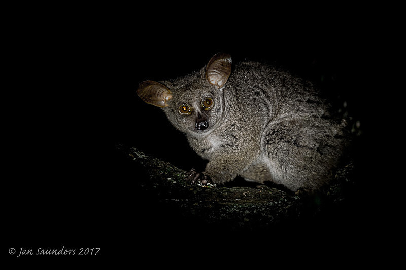 Thick-tailed Bushbaby - Low Key