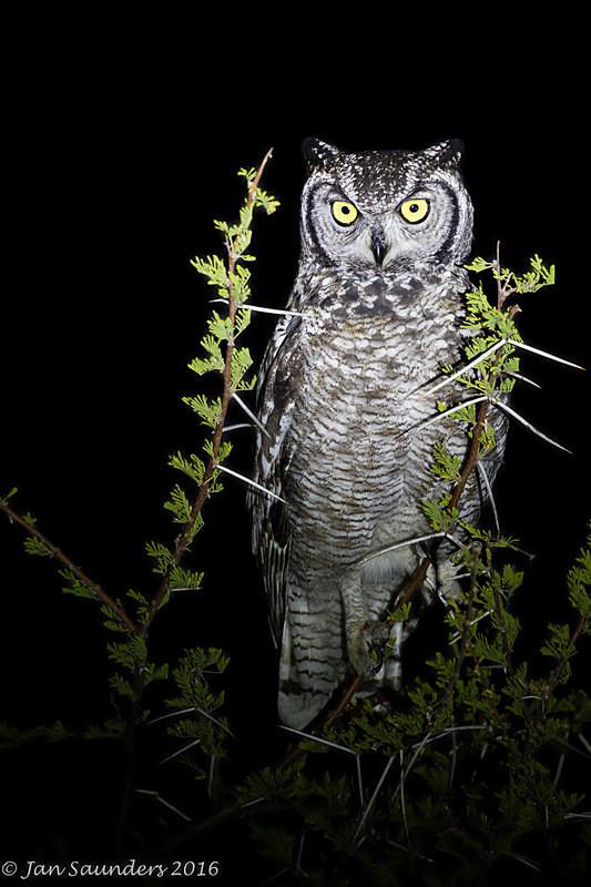 Spotted Eagle Owl Portrait - Low Key