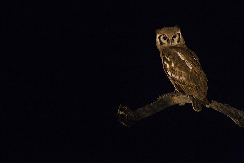 Low Key Giant Eagle owl - Low Key
