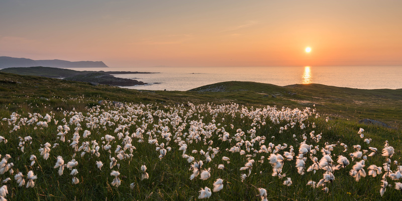 Cottongrass at Dooey - Co. Donegal