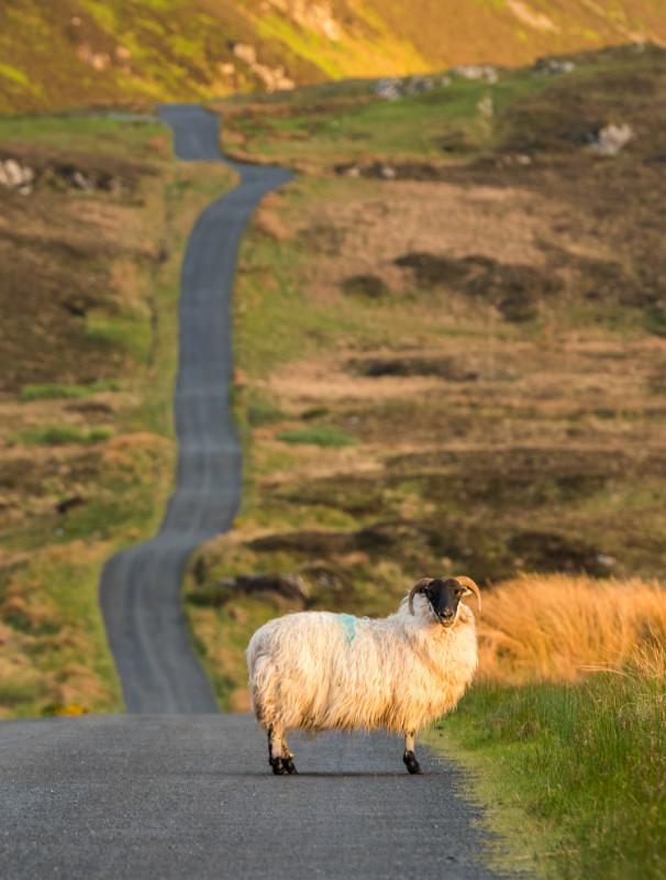 Lough Salt Sheep - Co. Donegal