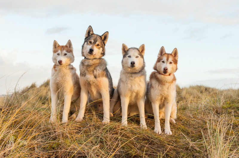 Siberian Huskies - Pet Photography