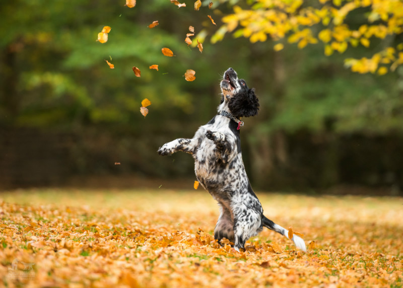 Autumn Play - Pet Photography