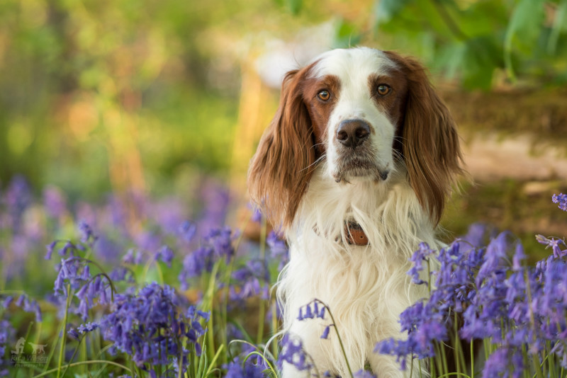 Banan in the Bluebells - Pet Photography