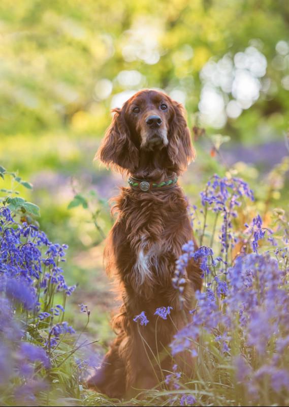 Bluebells - Pet Photography