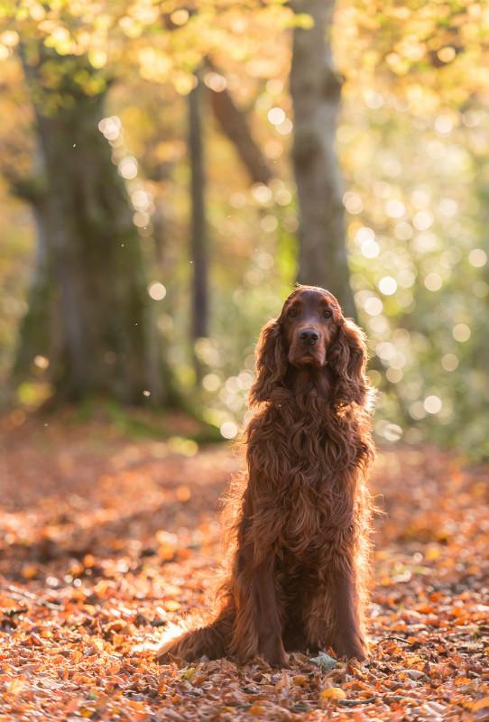 Autumn Setter - Pet Photography
