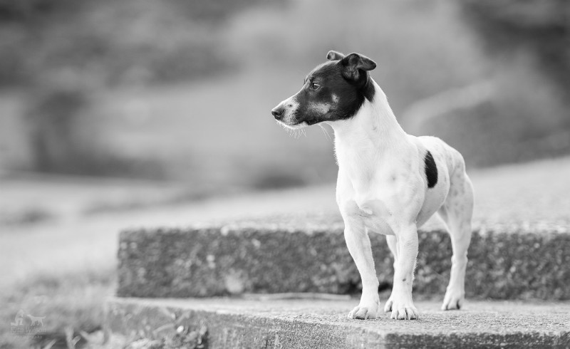 Jack Russell - Pet Photography