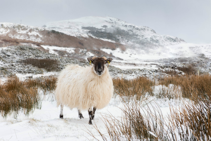 Donegal Ewe - Co. Donegal