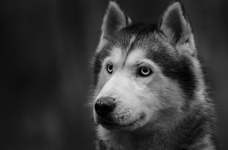 Husky - Pet Photography