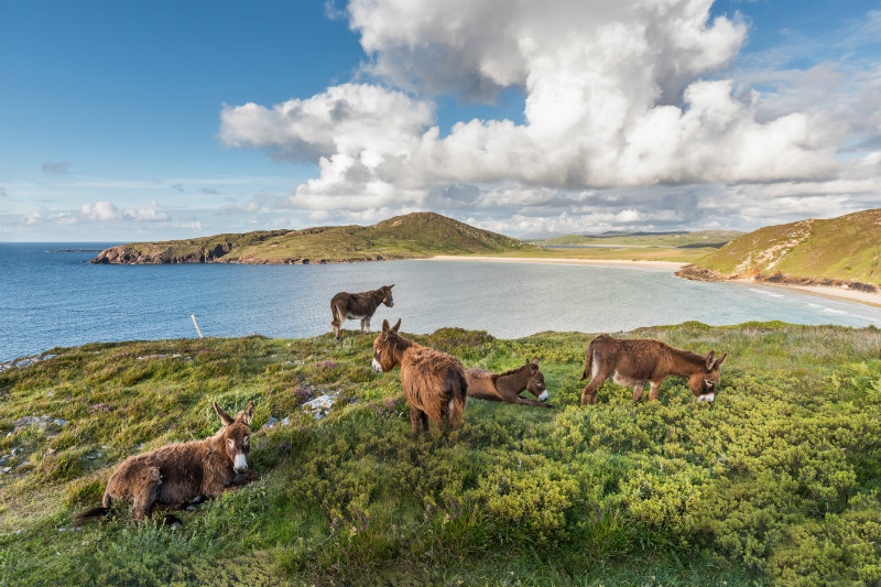 Donkeys Tra na Rossan - Co. Donegal
