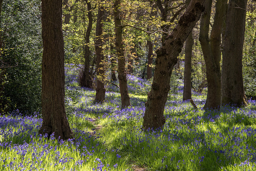 Bluebells in the Light - The Seasons