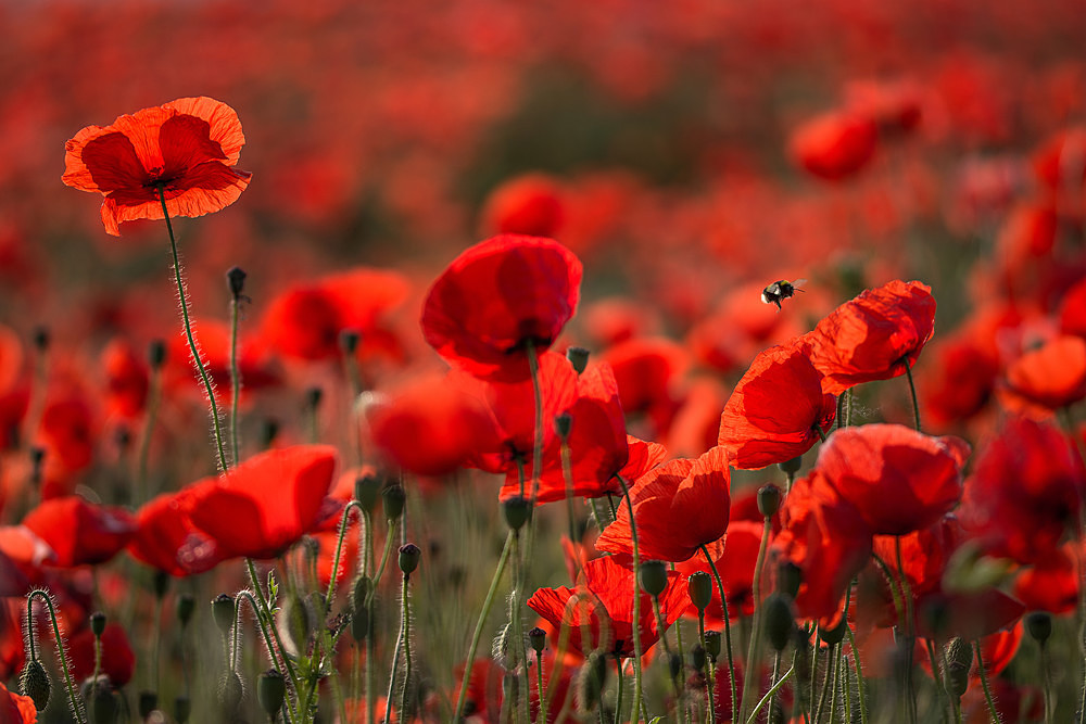 Flight of the Bumble Bee - Poppies