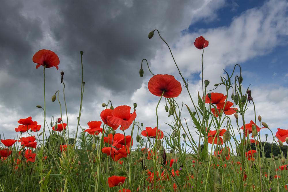 Poppy Field - Poppies