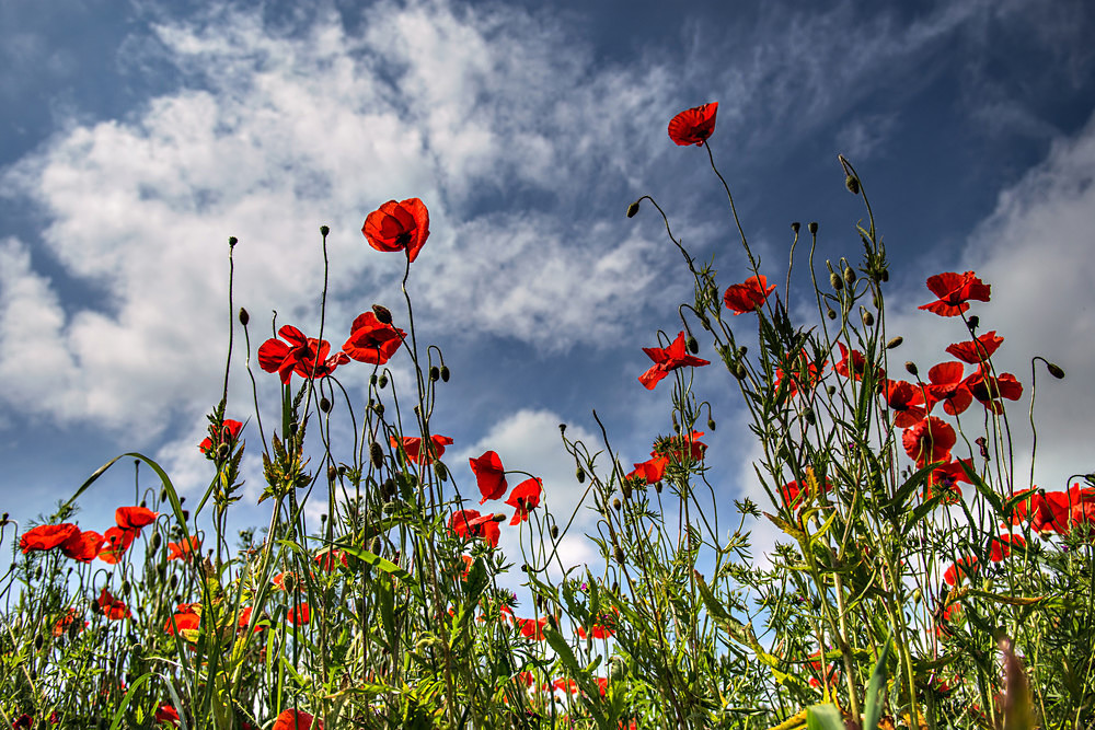 Red White & Blue - Poppies
