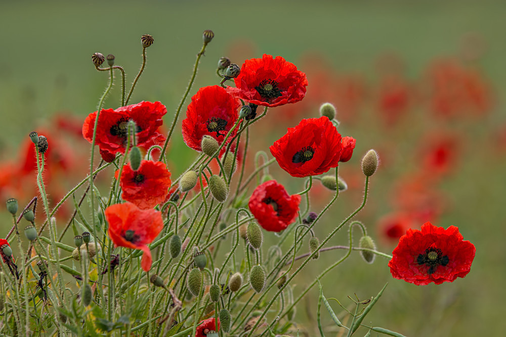 Look at Me - Poppies