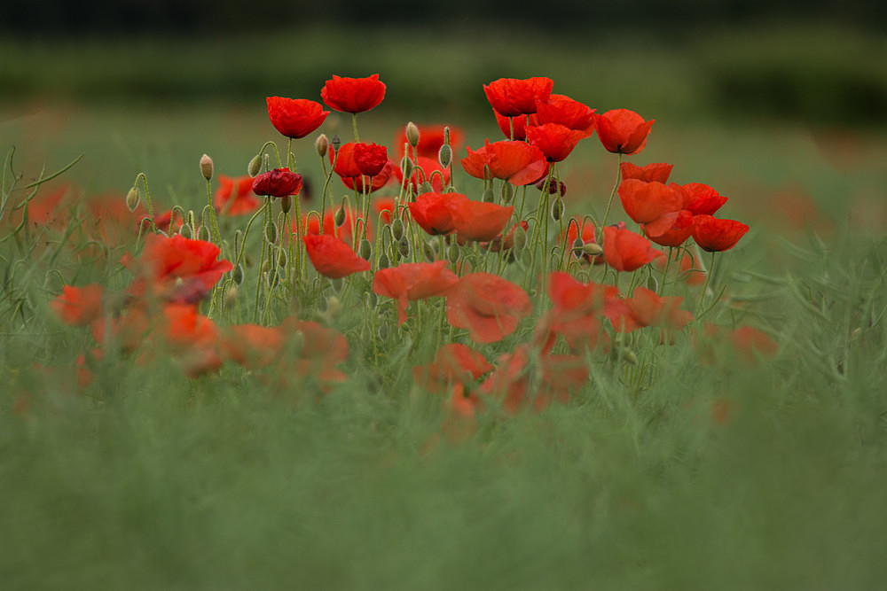 A Fine Bunch - Poppies