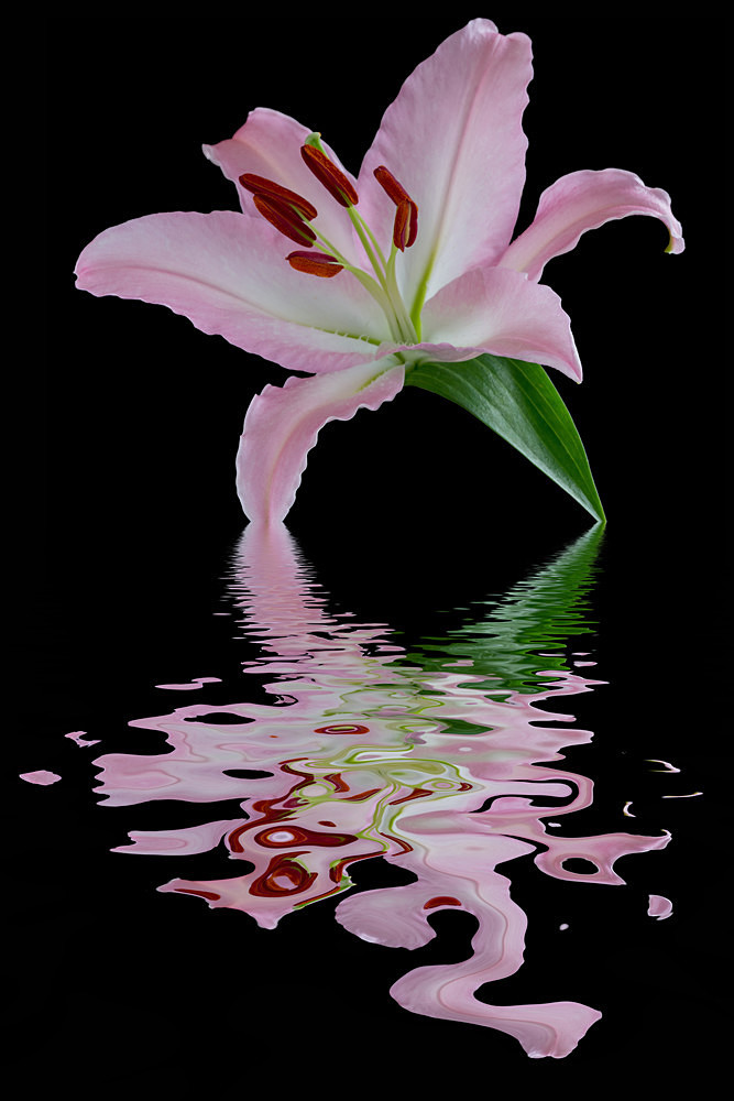 Pink 'n Green Lily - Flooded Flowers