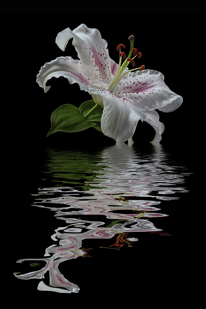 White Lily - Flooded Flowers
