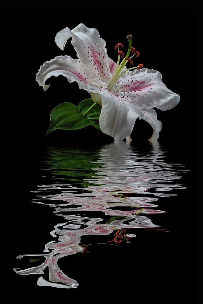 White Lily - SHOP