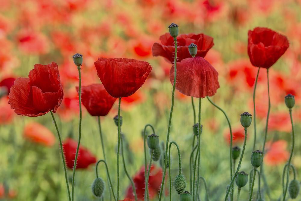Cawthorne Poppies - Poppies