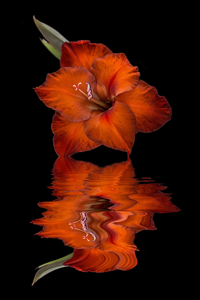 Gladioli - Flooded Flowers