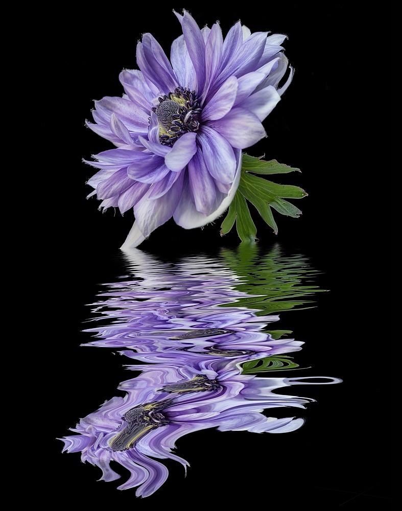 Lilac Anemone - SHOP