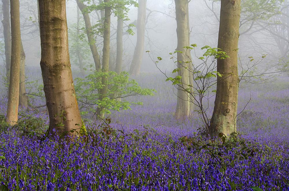 Misty Bluebells - The Seasons