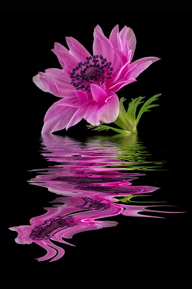 Pink Anemone - Flooded Flowers