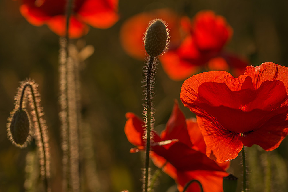 Sunsetting Highlights - Poppies