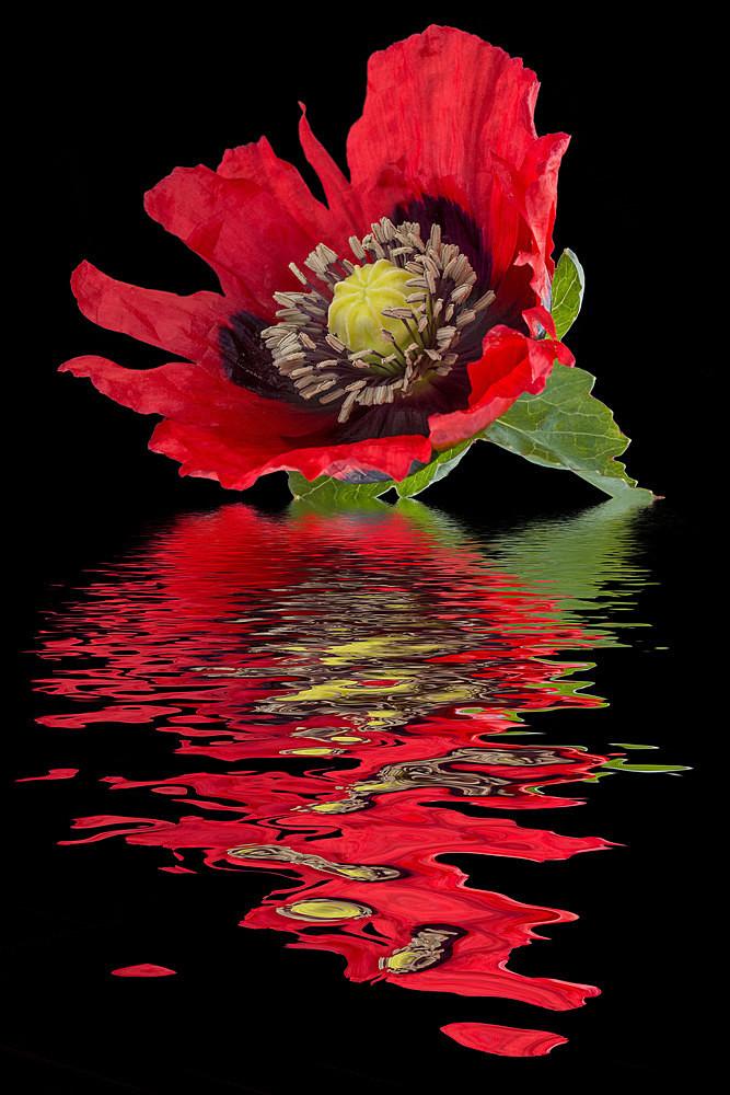 Garden Poppy - Flooded Flowers
