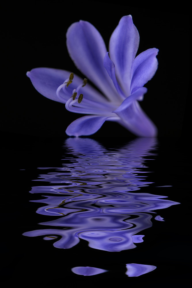 Agapanthus - Flooded Flowers
