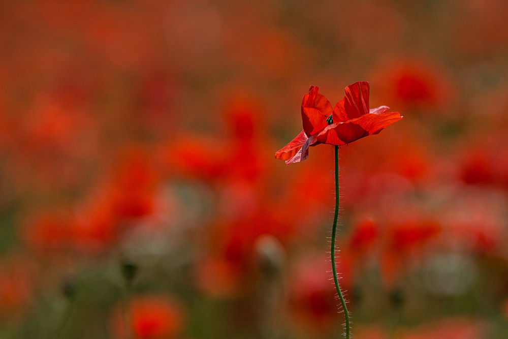 Standing in the Sun - Poppies