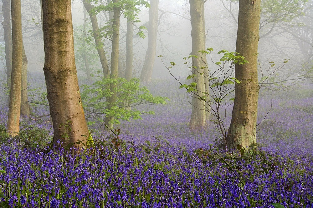 Bluebells in the Mist - SHOP