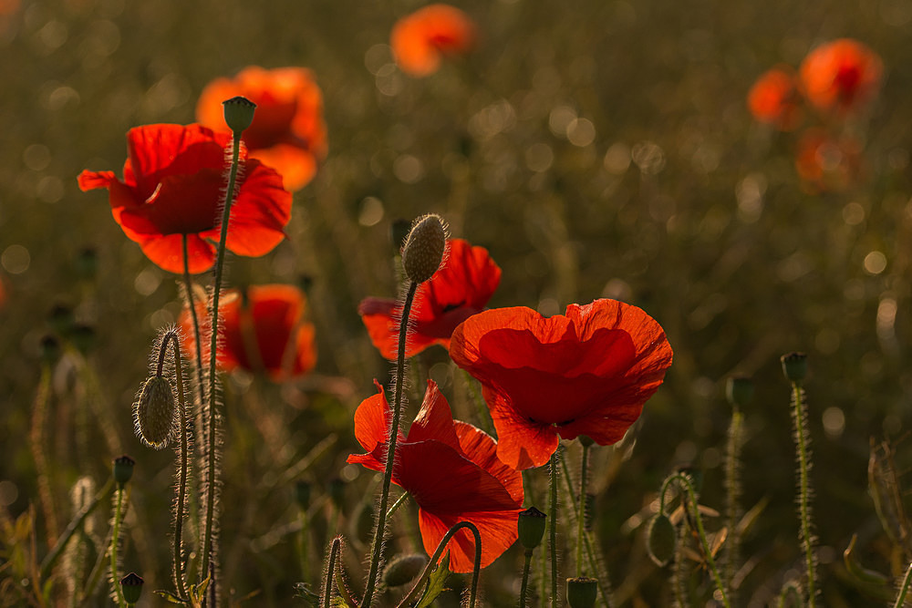 Catching the last Light - Poppies